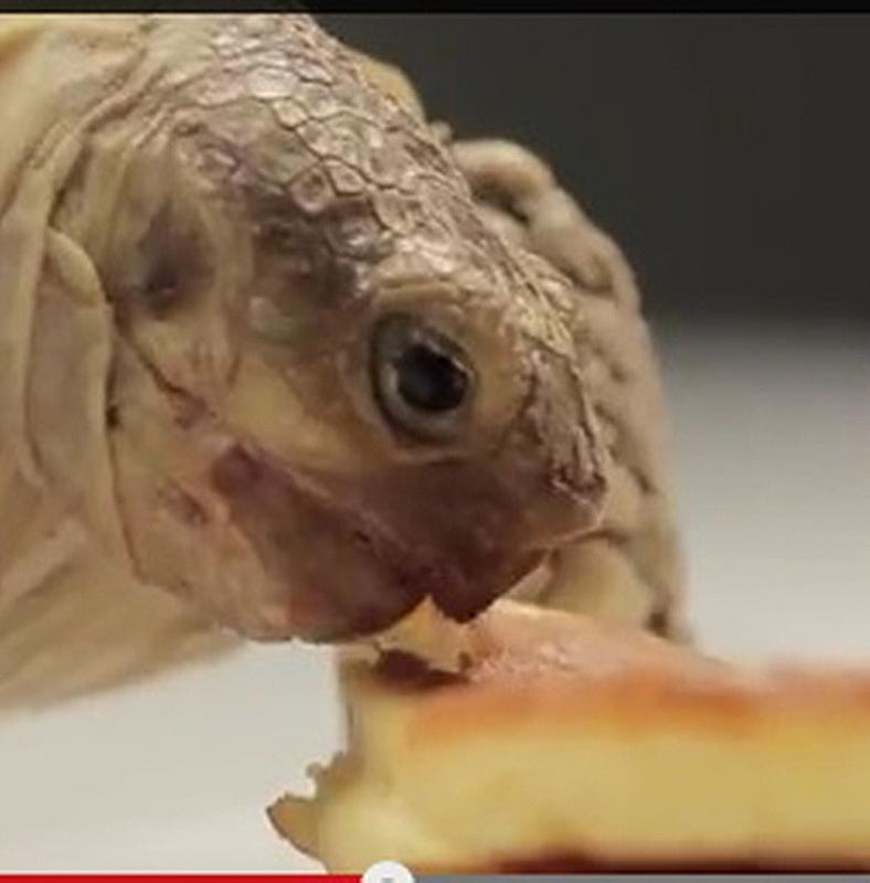 mikor fogyott a teknős? A tiszta barre segíthet a fogyásban